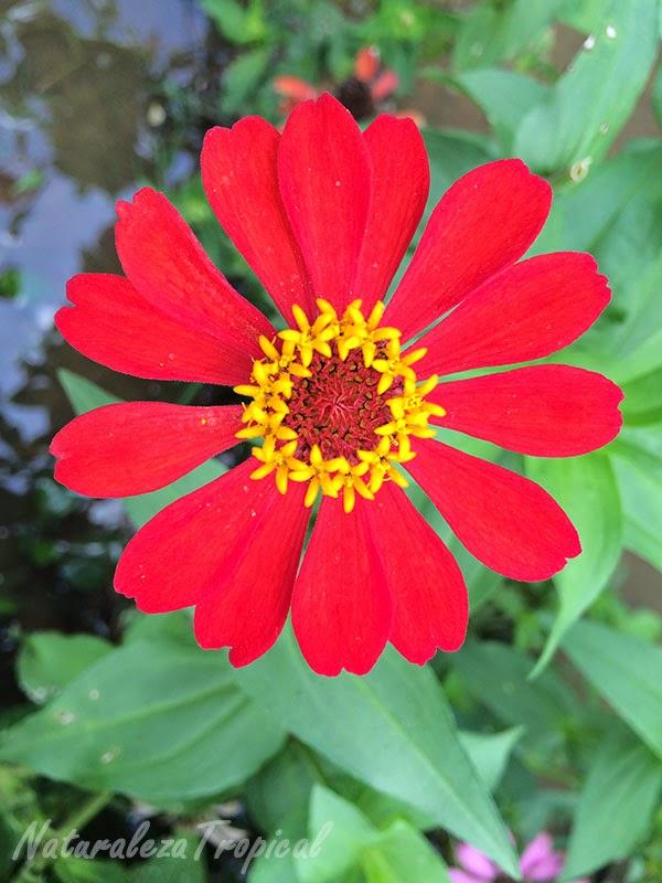 Variedad roja del clavelón, nombre popular de Zinnia angustifolia