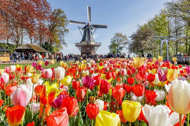 keukenhof parque holandês, tulipas e moinhos de vento