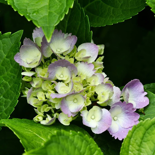 Blooming Hydrangea   Photo by Taste As You Go