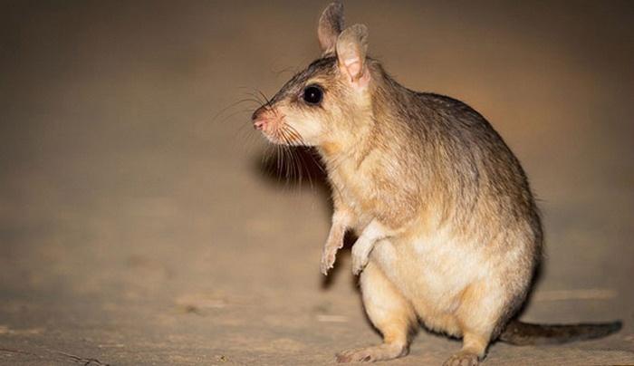 10 Organisme atau Makhluk Hidup yang Mampu Bertahan Hidup Di Tengah Kondisi Esktrem, Tikus Kangguru Raksasa, Giant Kangaroo Rat, Ord's Kangaroo Rat