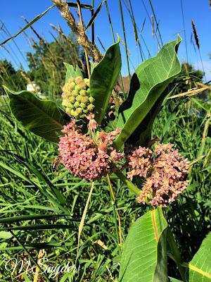 July 16, 2019 Appreciating that people are leaving milkweed  in their gardens.