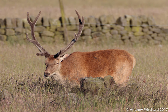 A stags has his head up displaying his velvet covered antlers as he chews grass behind an old dry stone wall.