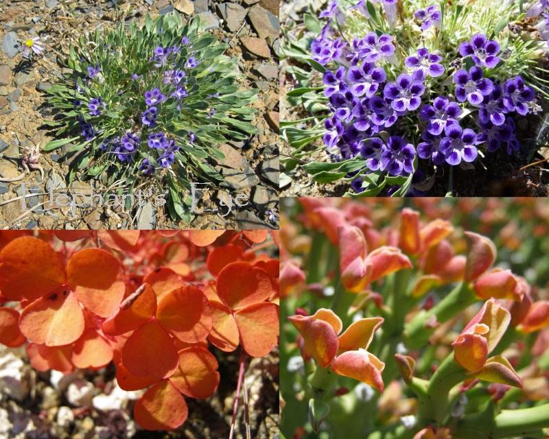 Karoo violets Aptosimum indivisum Oxalis, Euphorbia