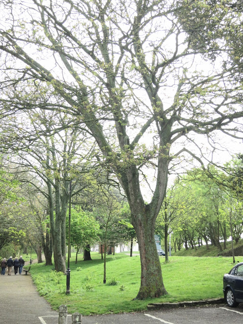 Tree in Nothe Gardens. May 3rd 2015