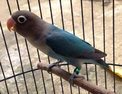 Semangat untuk meraih nilai baik ketika membawa burung lovebird ke arena perlombaan menjadi  Lovebird Tidak Mau Bunyi Saat Di Arena Lomba, Analisa Penyebab dan Solusi Mengatasinya
