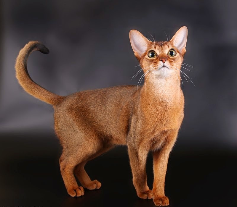 Abyssinian Cat Domestic Cats