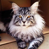kucing maine coon ciri dan sifatnya