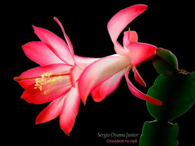Flor de Maio - Schlumbergera truncata