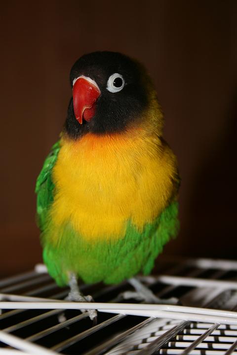 lovebird dakocan hijau