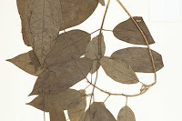 http://sciencythoughts.blogspot.co.uk/2013/04/two-new-species-of-milkvine-from.html