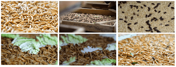 Belajar Ternak Ulat Hongkong di Garut