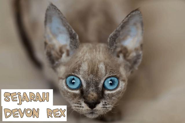 Asak Kucing Devon Rex