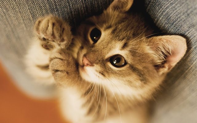 Cat Wallpapers HD Vol.1 February 2016. Free Edition (33 photos)