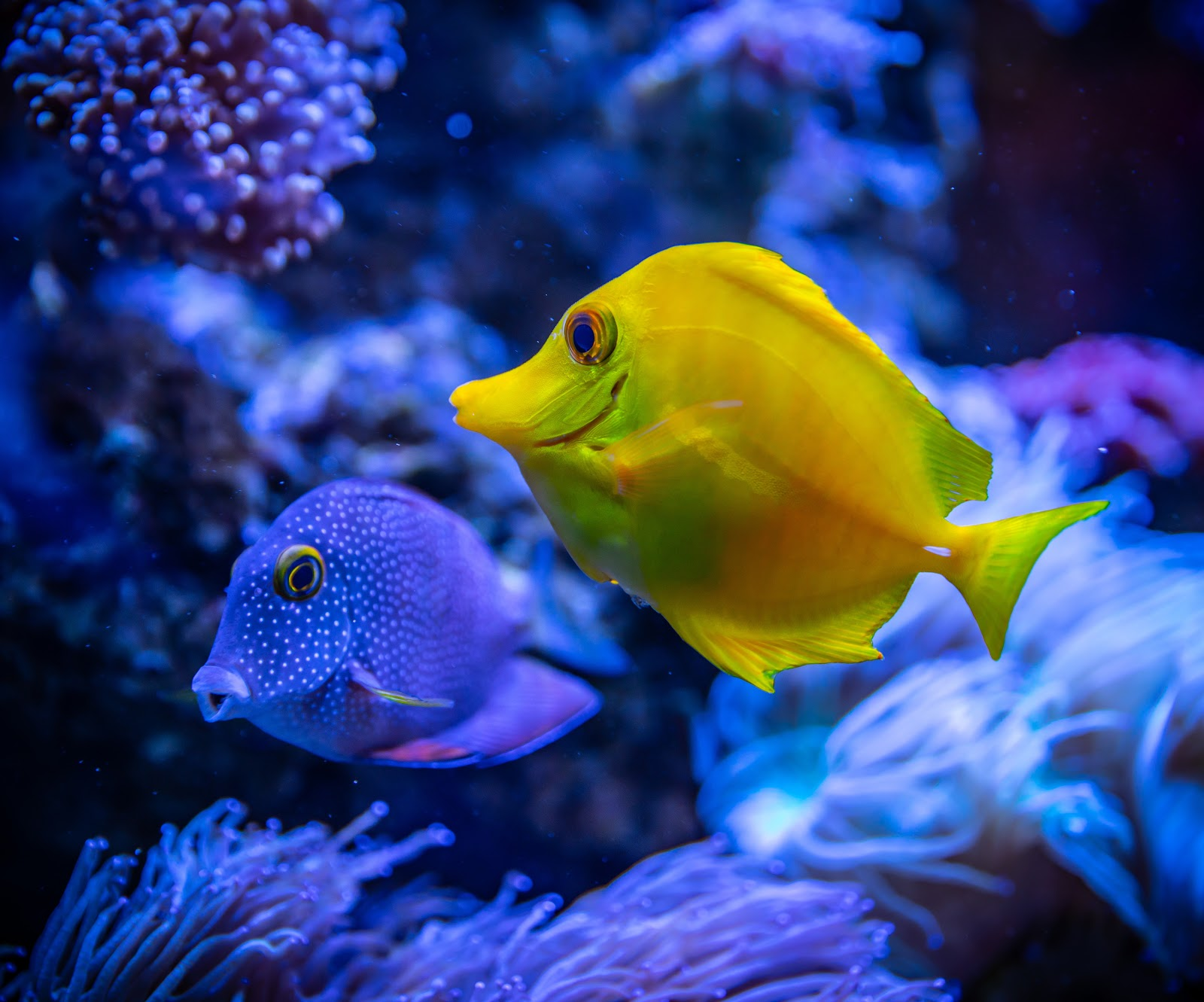 yellow-and-blue-fish-in-water-images