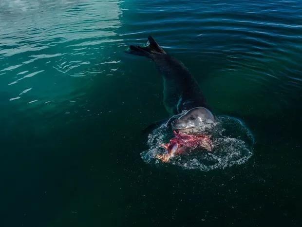 """Fotógrafo descreve encontro """"perigoso"""" com foca-leopardo na Antártica"""
