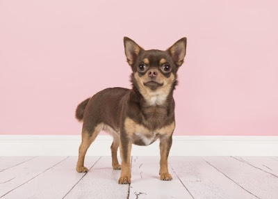 Identify this tiny breed of dog (image)