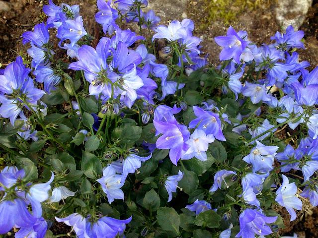 Karpatklokke, en staude som blomstrer i blått