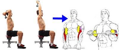 Biserie de ejercicios para ejercitar los músculos de los brazos
