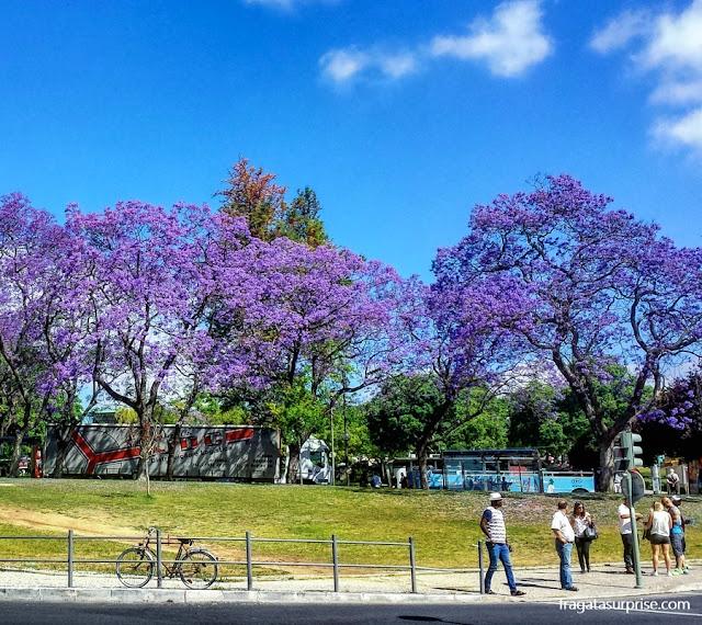 jacarandás em flor no Parque Eduardo VII, Lisboa, Portugal