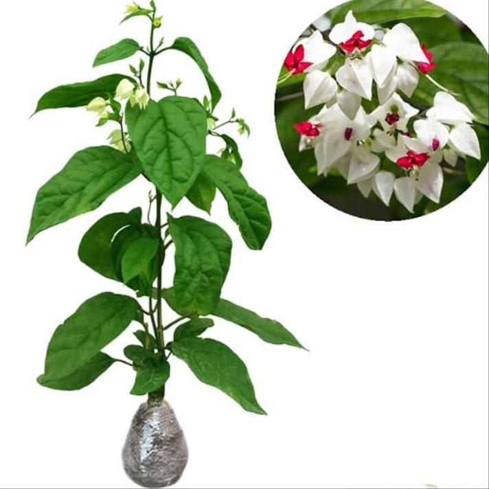bibit tanaman hias bunga nona makan sirih merah putih Bleeding Heart Vine Tanjungbalai