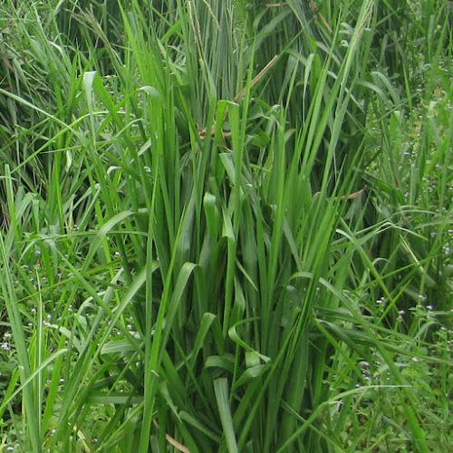 Giống cỏ chịu ngập úng nào tốt nhất
