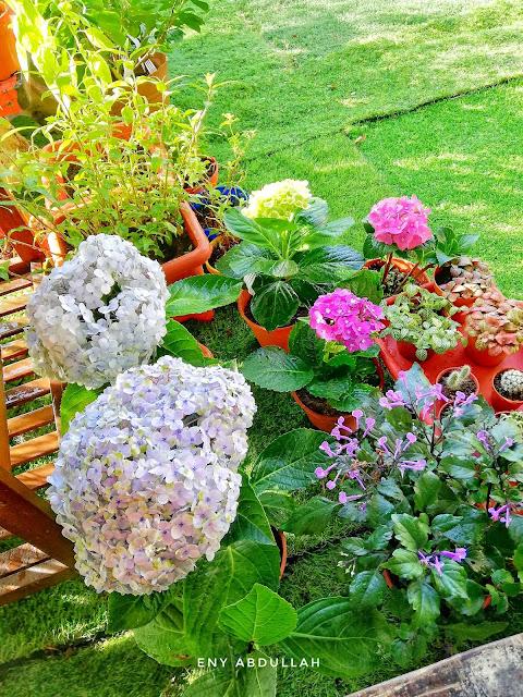 tips pokok hydrangea, pokok siti zubaidah, pokok bunga 3 bulan, Hortensia, Hydrangeas, Malaysia hydrangea