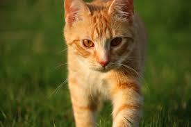 Cara Sehat Membuat Kucing Gemuk