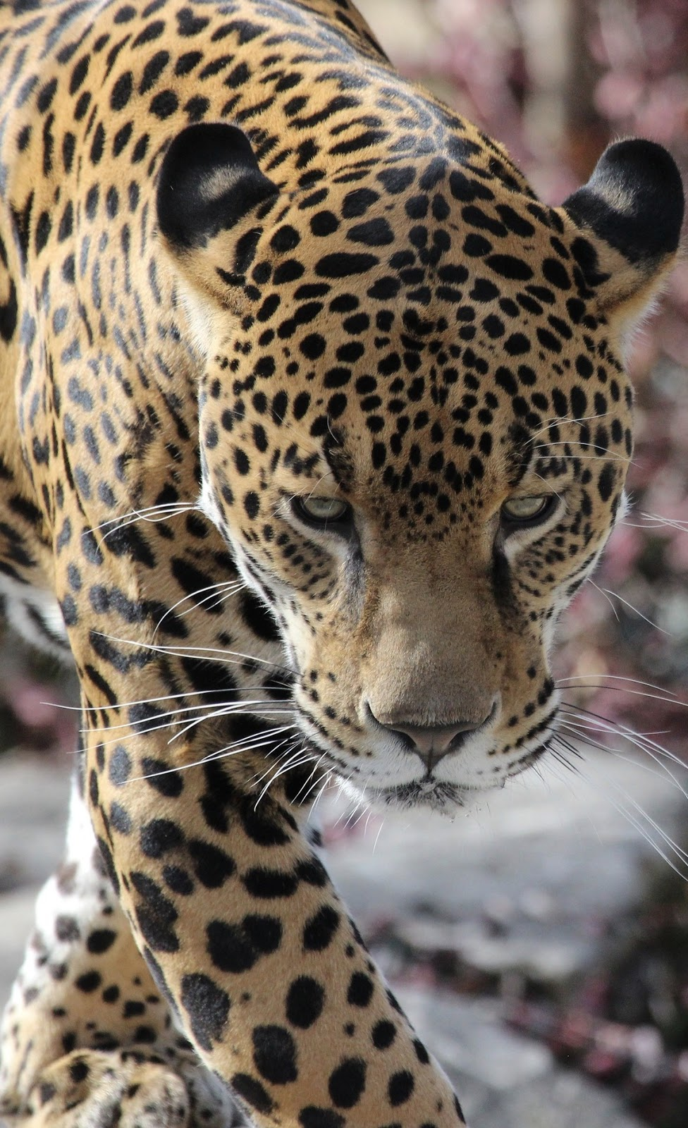 Picture of a jaguar up close.