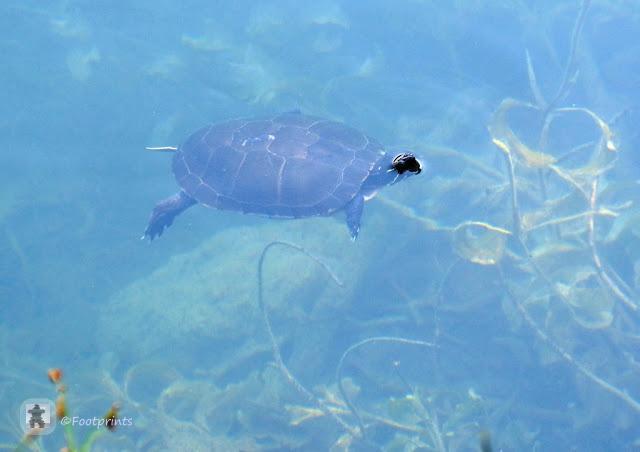 turtle, Schildkroete im Wasser