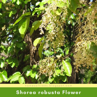 Shorea robusta Flower