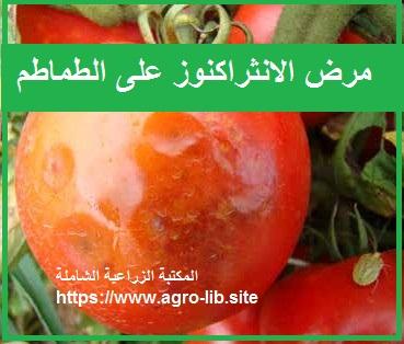 مرض الانثراكنوز على الطماطم ANTHRACNOSE