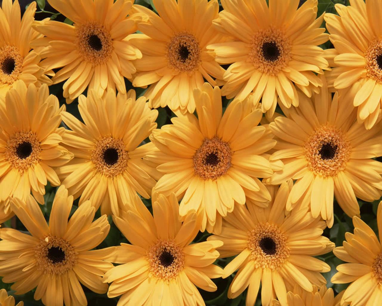 Fashion Magazine Beautiful Yellow Flowers Wallpapers