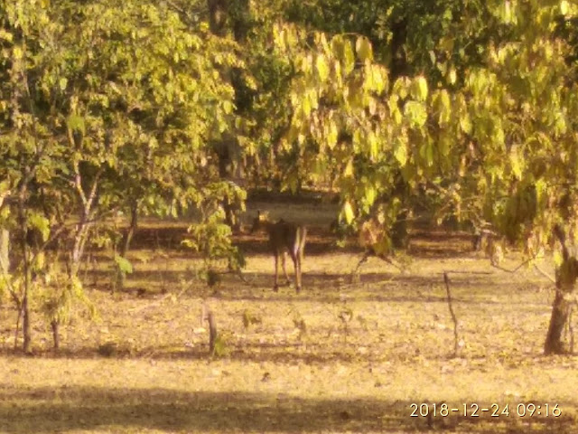 Wild Dear at Bandhavgarh Tiger Reserve