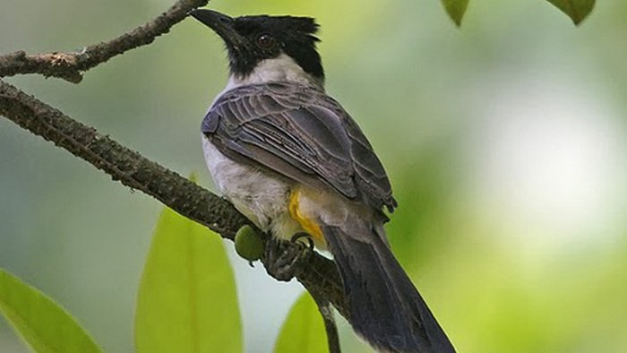 membedakan kutilang jantan dan betina, burung manyar jantan dan betina, burung blackthroat jantan dan betina, burung kutilang Kapas Putih jantan dan betina
