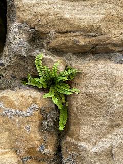 Asplenium trichomanes in a wall on Via Tassis in the Upper City of Bergamo.