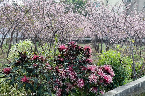 台中神岡|神岡櫻花林|櫻花秘境|數百棵各品種櫻花|平地賞櫻另一選擇