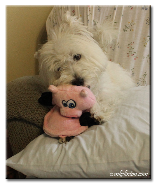 Pierre Westie is testing the chewability of his new Hear Doggy! toy.
