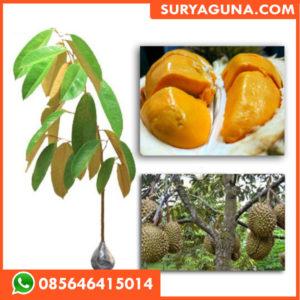 Bibit Durian Kuning Mas