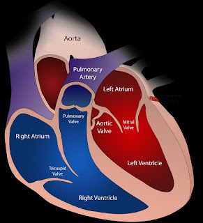 Basic and clinical Anatomy of heart  by doctors gang