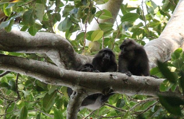 Macaque (Macaca togeanus)