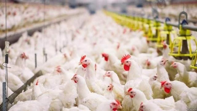 مواطنون ساخطون على إرتفاع أسعار الدجاج و المواطنين يعيشون وضعية صعبة