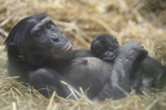New Bonobo Genome Fine Tunes Great Ape Evolution Studies