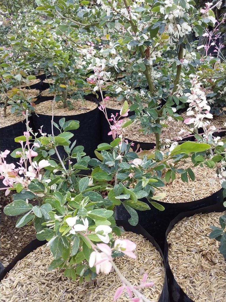 bibit tanaman hias asem belanda snow bush Denpasar