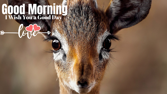 Good morning images with Deer. Good morning  Images