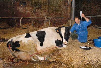 cow milk fever