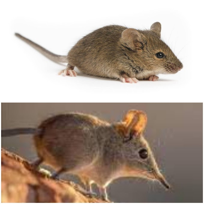 Comparison between Shrews and Rodents