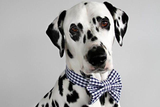 Dalmatian dog wearing a blue and white bow tie