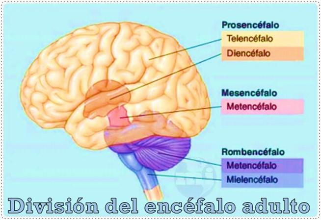 división del encéfalo