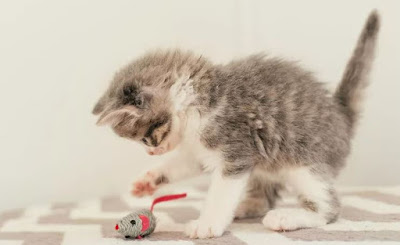 Semua yang Harus Anda Ketahui Ketika Anak Kucing Anda Bermain