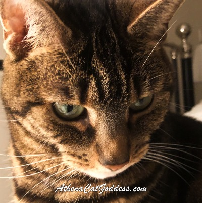 brown tabby close-up